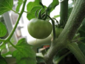 ぜいたくトマト現在.jpg
