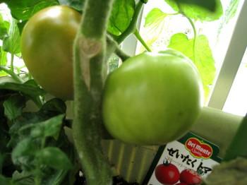 色づきトマト_1.jpg