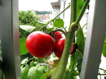 2段目ぜいたくトマト_1.jpg