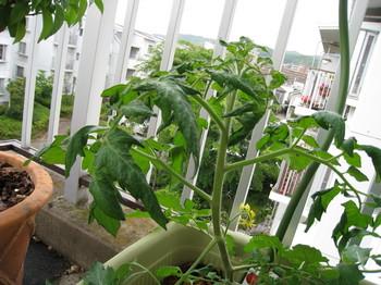 トマト、葉しおれ1.jpg