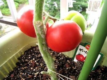 1段目ぜいたくトマト_1.jpg